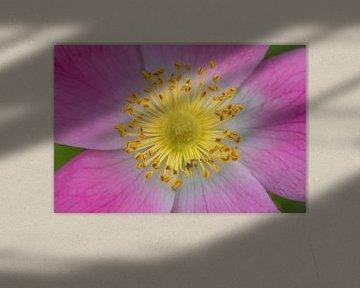 Gele en roze bloem von Fokko Erhart