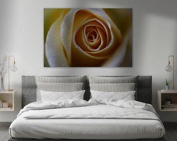 Rose in creme von Simone Marsig