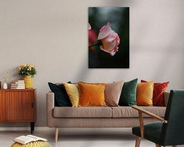 Rose im Morgentau 6 von Simone Marsig