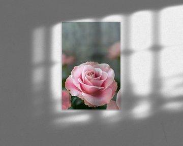 Rose von Chantal Verspeek