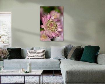 Paars/roze Zeeuws knoopje/astrantia von Chantal Verspeek