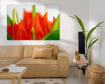 Aliquam tulips von Michael Nägele