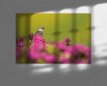 Waterpieper (Anthus spinoletta spinoletta) van AGAMI Photo Agency