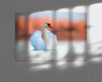 Knobbelzwaan (Cygnus olor) van AGAMI Photo Agency