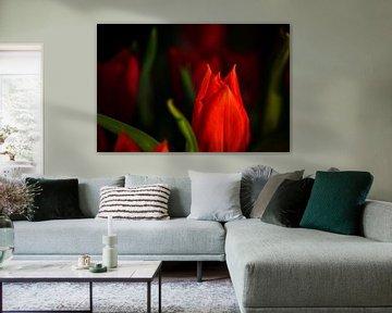 Rubeum tulips amoris sur Michael Nägele
