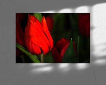 Tulips for mother von Michael Nägele