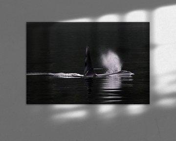 Mannetje Orka (Orcinus orca) van AGAMI Photo Agency