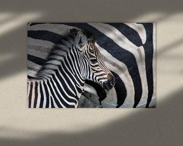 Zebrafohlen (Equus burchellii) neben ihrer Mutter stehend, Sabi Sands Game Reserve, Mpumalanga, Süda von Nature in Stock