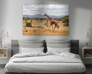 Somalische Giraffe (Giraffa camelopardalis reticulata) Mann, der durch den Samburu Nationalpark, Ken von Nature in Stock