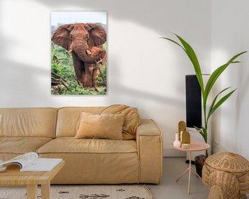 Savannenelefant (Loxodonta africana) männlich, Südafrika von Nature in Stock