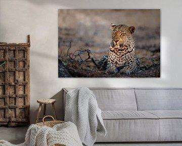 Weibchen Leopard (Panthera pardus) Portrait, Südafrika von Nature in Stock