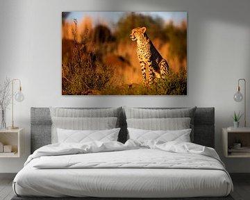 Gepard (Acinonyx jubatus) auf der Wache bei Sonnenuntergang, Südafrika von Nature in Stock