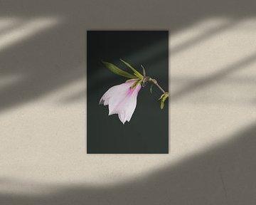 Magnolia von Lavieren Photography