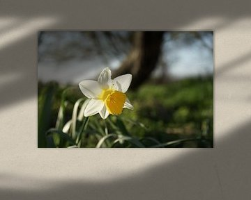 Narcis voorjaarsbloem van Bart Nikkels