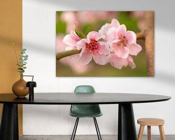 Roze bloesem van de nectarine