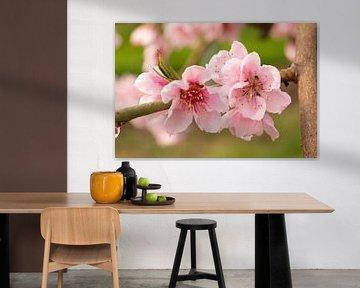 De roze bloem van de perzik