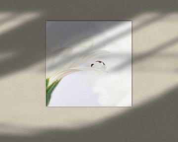 Druppel op witte Gerbera von Jenco van Zalk