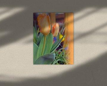 Tulpen in apricot von M.A. Ziehr