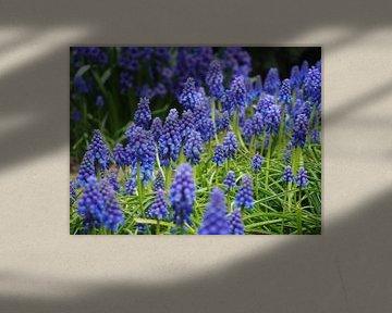 Blauwe druifjes von Anne de Brouwer