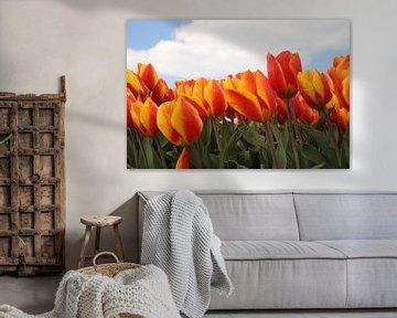 Geel rode tulpen in het bollenveld