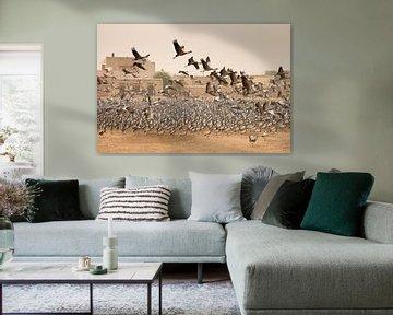 Duizenden Jufferkraanvogels in India van Andius Teijgeler