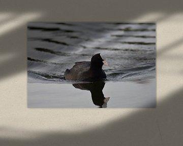 Meerkoet in het water van Henk-Jan Lubbers