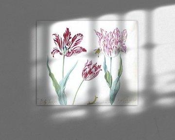 Drei Tulpen mit Raupe und Schmetterling, Jacob Marrel