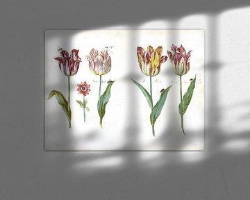 Blatt aus einem Tulpenbuch, Jacob Marrel