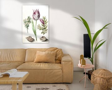 Tulpe, zwei Myrtenzweige und zwei Muscheln, Maria Sibylla Merian