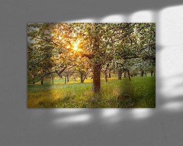 """"""" Blütentraum """" Kirschblüte im Sonnenuntergang von Jiri Viehmann"""