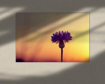 Kornblume im Abendlicht von Kristof Ven