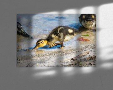 Babyente im Wasser, das nach Lebensmittel sucht von Kristof Leffelaer