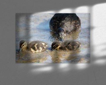 Kleines Baby Enten mit ihrer Mutter von Kristof Leffelaer