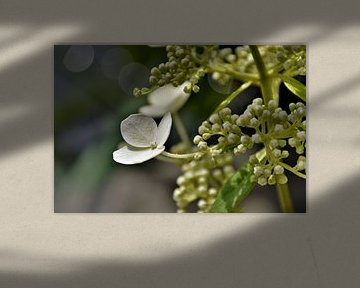 Witte Hortensia met Bokeh van DoDiLa Foto's