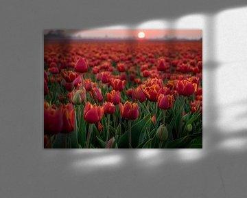 Tulipes rouges dans un champ