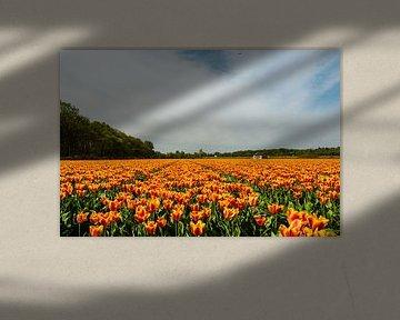 Tulpenveld in Holland