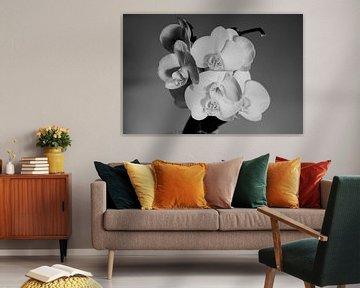 orchidee van J. van Schothorst