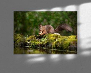 Eichhörnchen mit Nuss von Tanja van Beuningen