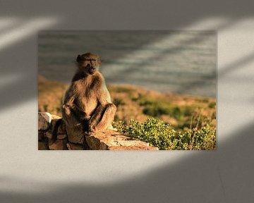 Baboon at Cape Point von Andreas Jansen