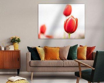 Tulipes sur fond blanc