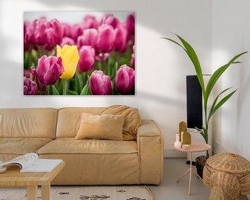 Tulipe jaune avec violet