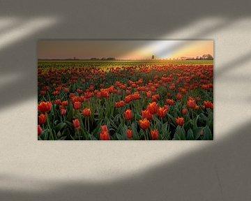 Tulpenfeld bei Sonnenuntergang von Peter de Jong