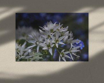 wilde knoflook bloemen van Christine Nöhmeier