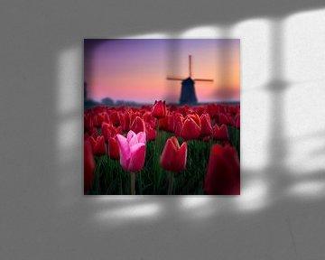 Roze tussen rood voor Molen. van Dennis Werkman