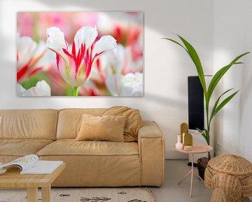 Ein Weiß mit roter farbiger Tulpe in niederländischem Feld mit Tulpen von Ben Schonewille