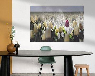 Paarse tulp in een wit tulpenveld in de regen van Fotografiecor .nl