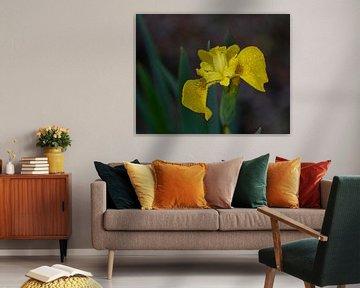 Gelbe Iris mit Regentropfen