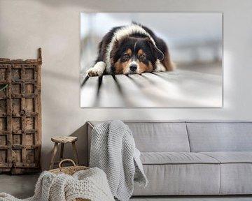 Australian Shepherd van Annett Mirsberger