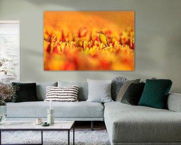 Gele kwikstaart op geel oranje tulpen