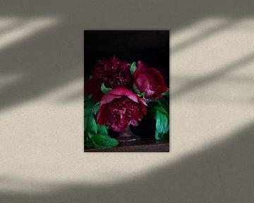 Donkerrode Pioenrozen met donkere achtergrond